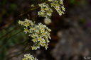 Ordre: Saxifragales